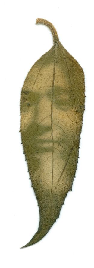 Márcia, revelação de fotografia em fitotipo em folha de girassol (2012) – Renata Voss